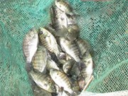 Vietnam's tilapia holds promising potential for export