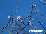 Early peach blossoms spotted in Y Ty