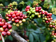 Vietnam's coffee industry loses global market share