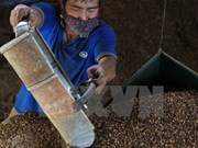 Dak Lak: Coffee output continues dropping