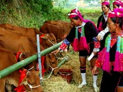Binh Phuoc gives breeding cows to ethnic minority households