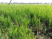 Thousands of hectares of rice face saline intrusion