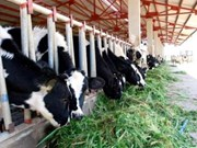 Large-scale cow breeding project launched in Ha Tinh