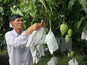 The growth of three-colour mangoes in Mekong Delta province
