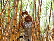 Cambodia's giant sugar mill inaugurated