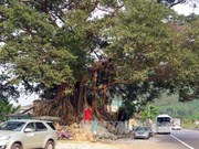 Ancient banyan in Thua Thien–Hue named heritage tree