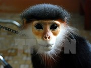 Endangered douc langur handed over to national park