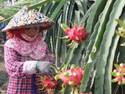 Dragonfruit paves way for Vietnam's fruit exports to Thailand