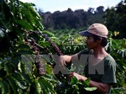 Lam Dong: 3.8 billion VND in support for coffee replanting