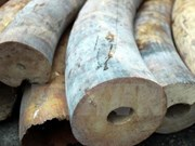 Hanoi: large amount of elephant tusks found