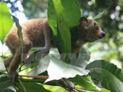 Six pygmy slow lorises rescued