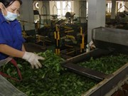 Vietnamese tea exports decrease