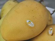 Vietnam to export Cat Chu mangoes to Japan