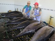 Binh Dinh : Fishermen gain big tuna catch