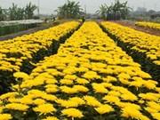 Hanoi's Tay Tuu flower village on days before Tet