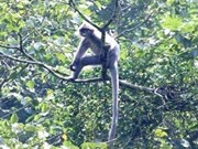 Thanh Hoa: rare primate faces extinction
