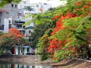 Hanoi to grow flamboyant trees