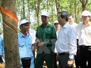 Rubber cultivation critical to development in northwest