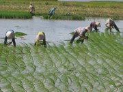 Japanese firm to pilot hi-tech rice farming in Ha Nam
