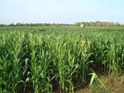 French, Vietnamese firms team up to farm maize in Phu Yen