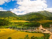 Bewitching beauty of golden rice fields in Quang Ninh