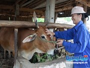 Breeding cows to needy households in Quang Ngai