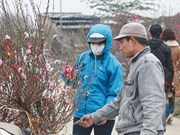 Hanoi: Tet peach trees begin to bloom