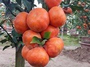 Canh oranges a hit in Hanoi