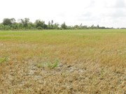Saltwater intrusion damages over 1,000ha of rice in Hau Giang