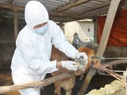 VN works to contain animal foot-mouth disease