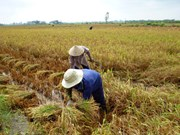 Mekong Delta improves post-harvest rice quality