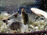Tilapia breeding area to cover 33,000 hectares in 2020