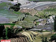 Colours of Y Ty terraced paddy fields in May