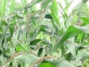 Grasshoppers attack crops in Son La