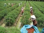 Korean group invests in chilli plantation in VN