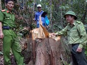 PM requests investigation into pomu forest destruction in Quang Nam
