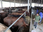 Central Highlands provinces move to develop cattle for trading