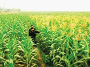 Northern region to expand winter crop area to 430,000 hectares