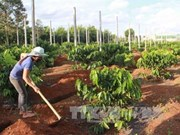 Central Highlands to replant coffee trees on 19,000 hectares