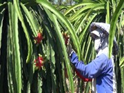 [Video] Australia to import Vietnamese dragon fruits