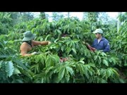 [Video] Central Highlands reduces coffee growing area