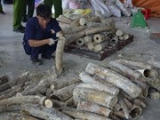 Nearly 1 tonne of smuggled elephant tusks found in HCM City