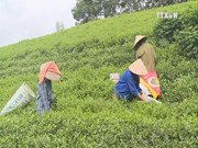 VN tea exporters enjoy record year