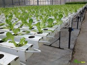 Hydroponics benefits growers in Da Lat