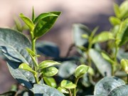 Clean Vietnamese tea expected to conquer world's markets