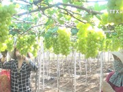 Ninh Thuan farmers make fortune with VietGap grapes