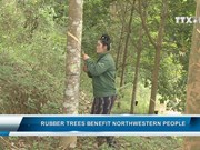 Rubber trees benefit northwestern people