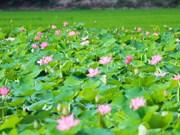 Thap Muoi lotus lake lures tourists