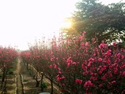 Irregular weather worries peach blossoms growers