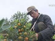 Nam Dinh kumquat market blooms as traditional Tet approaching